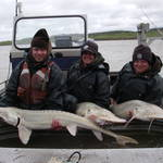 Three adult Pallid Sturgeon caught during broodstock collection.