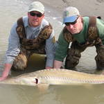 An adult pallid sturgeon being released back into the river.